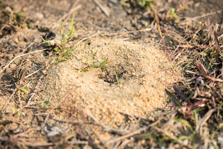 pismire: Black ants gather around the hole of their nest