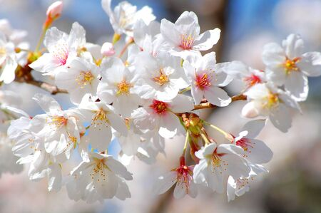 white Cherry Blosson  Sakura Flower in Japan
