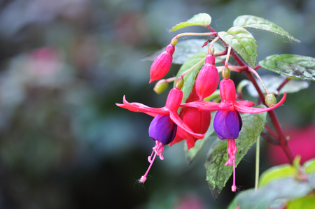 doi: Fuchsia at Doi Inthanon National Park Chiang mai Thailand