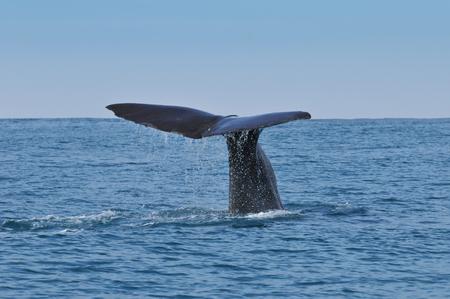 マッコウクジラの尻尾。Kaikura ニュージーランドでクジラ見クルーズから撮影した写真 写真素材 - 41780957