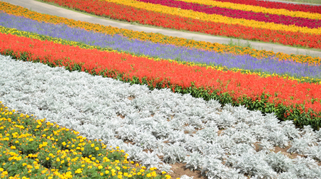 biei: Colorful flower field in Biei, Hokkaido, Japan