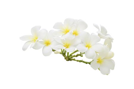 plumeria on a white background: Plumeria, Tropical flower on white background, Bangkok, Thailand