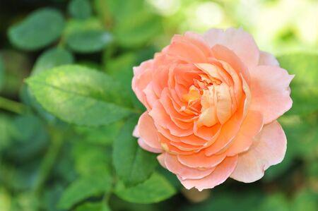 botanic: Light orange rose at botanic garden, Chiang Mai, Thailand