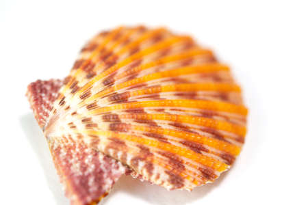 scallop shell: Seashell close up - scallop shell