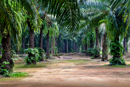 Oil palm plantation in Krabi, Thailand