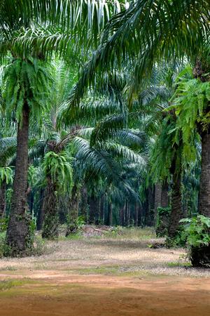 oil palm: Oil palm plantation in Krabi, Thailand