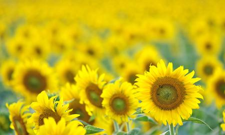 ratchasima: Beautiful Sunflower field background, Nakhon Ratchasima, Thailand