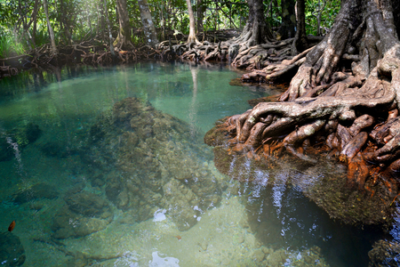 thapom: Swamp forest of Tha-Pom Canal, Krabi, Thailand