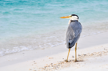 ardea cinerea: Grey Heron , Ardea cinerea,  on the beach, Maldives