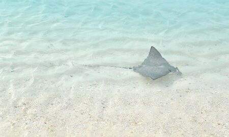 spotted ray: Small eagle ray swimming by the shore, Maldives