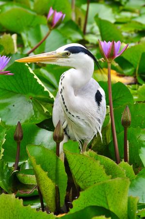 gray herons: Grey Heron in lotus pond, Maldives