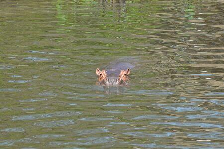 submerge: Hippopotamus swimming in the river Stock Photo