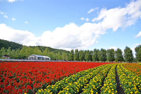 Farm Tomita is one of the famous tourist attraction flower field in Furano, Hokkaido, Japan 報道画像