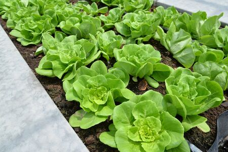lettuces: Row of lettuces grow in a farm
