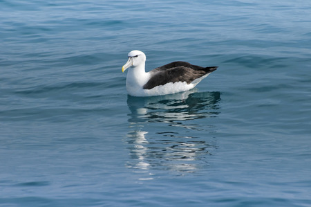 wildness: Black-browed Albatross resting on a calm ocean surface, Kaikoura, New Zealand