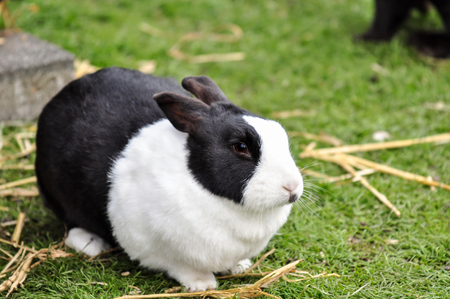 Fat black and white rabbit in a farm, Netherlands