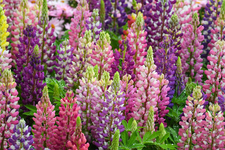 Lupinus in the garden after the rain (close up)