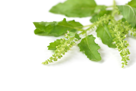 Holy basil on white background - isolated
