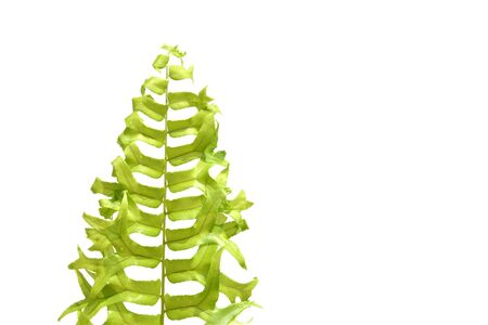 Fishtail Sword Fern on white background - isolated Banque d'images