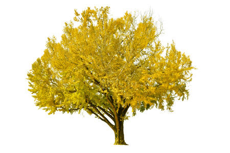 Ginkgo tree on white background - isolated 写真素材