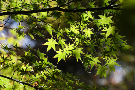 Green maple leaves, Japan - close up