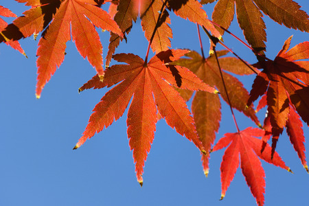 Red maple leaves, Japan - close up