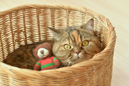 Brown scothish fold cat with teddy bear. Stock Photo