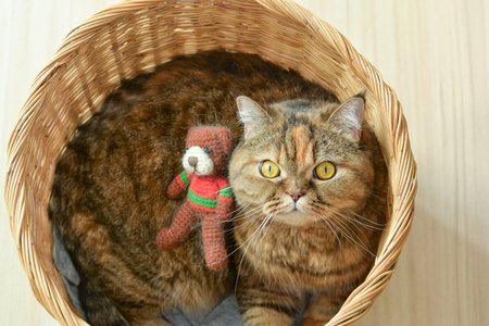 Brown scothish fold cat with teddy bear