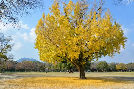 Ginkgo tree in the park, Japan