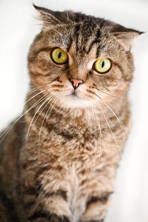 Scottish Fold Tabby cat sitting 写真素材