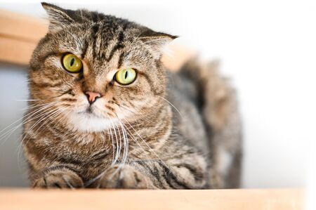 Scottish Fold Tabby cat lying on a stair 写真素材