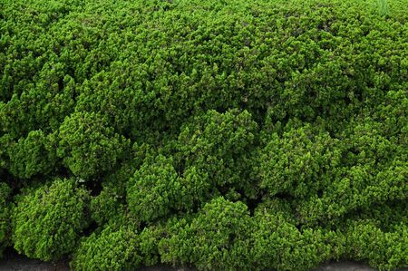 Green dense wall background, Japan 写真素材 - 131639594