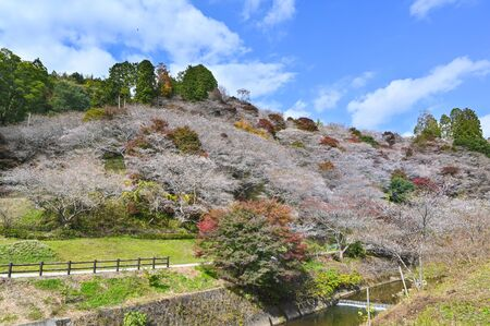 Obara Fureai Koen in autumn where you can find cherry blossom and autumn leave in the same place, Japan 写真素材 - 134716371
