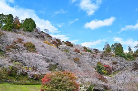 Obara Fureai Koen in autumn where you can find cherry blossom and autumn leave in the same place, Japan 写真素材 - 134716373