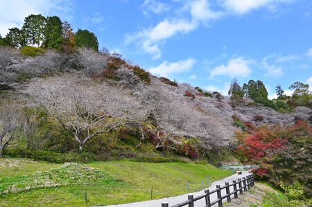 Obara Fureai Koen in autumn where you can find cherry blossom and autumn leave in the same place, Japan 写真素材 - 134716374
