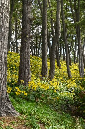 Pine trees with yellow flower background