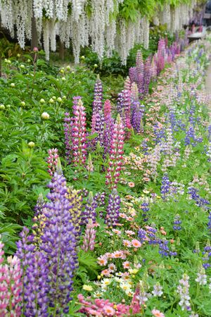 Lupinus in the garden after the rain