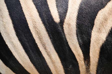 Zebra pattern with black and white striped 版權商用圖片