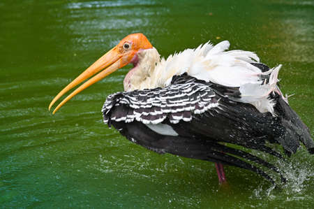 Painted stork in a pond - close up