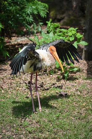 Painted stork is spreading its wings 版權商用圖片