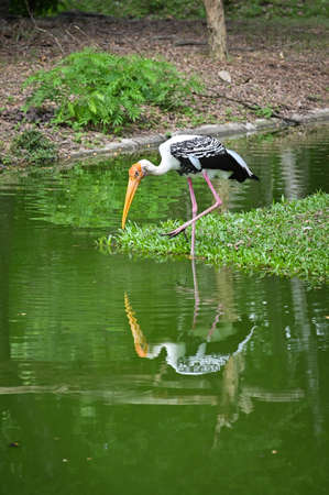 Painted stork in a pond
