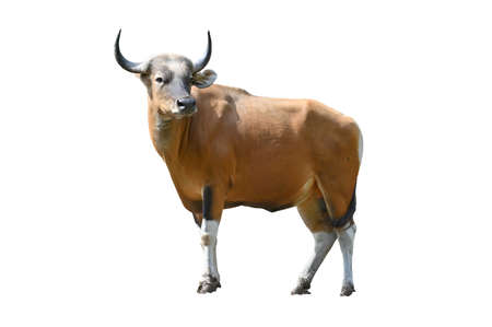 Banteng cow isolated on white background