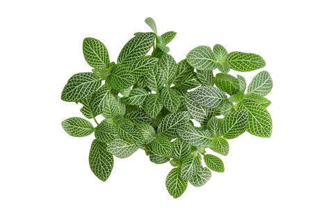 Fittonia or nerve plant on white background - isolated