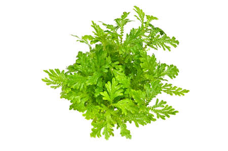 Fern, Spike Moss, on white background - Selaginella