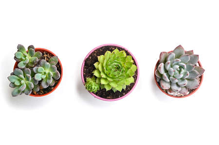 Succulent on white background - isolated Zdjęcie Seryjne