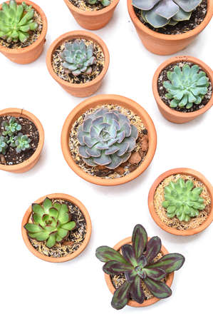 Many succulents in clay pot on white background  - isolated