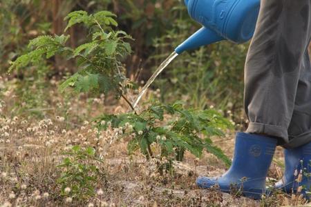 tamarindo: Riego pequeño árbol de tamarindo