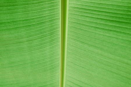 leaf close up: banana leaf,close up concept Stock Photo