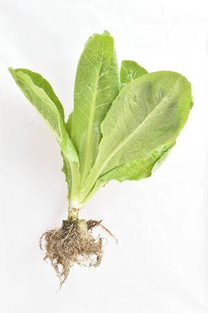 Vegetable hydroponics on isolate background