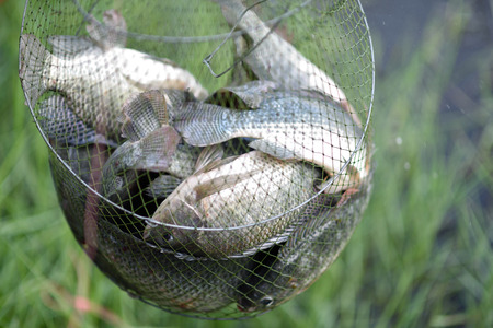 white nile: Tilapia in cages